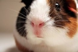 Millie the Guinea Pig. so super cute!