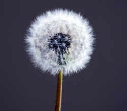 Dandelion Photo by Fastily, Courtesy of Wikimedia.org