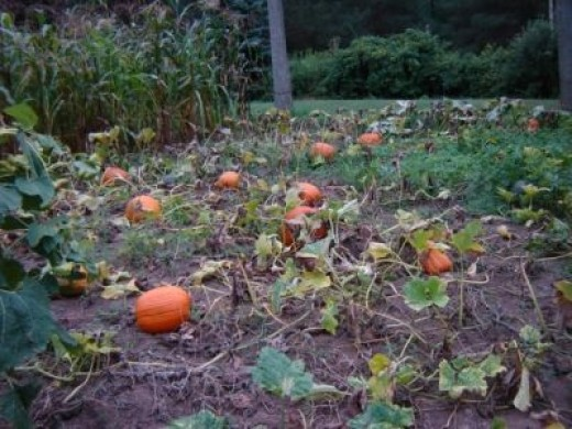 My Parent's Pumpkin Patch from several years ago