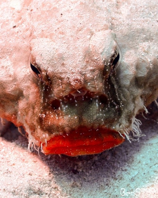 Shortnose Batfish -- a harmless fish that is pretty strange looking. (Photo: Scubaben via Flickr Creative Commons)