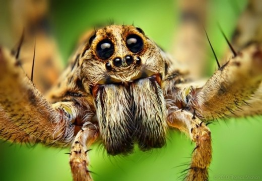 Wolf Spider -- yikes!  What is it about insect and arachnid close-ups that makes my skin crawl? (Photo: Thomas Shahan via Flickr Creative Commons)