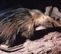 Almiqui -- this little critter from Cuba was thought to be extinct until 2003 (Photo: Wikimedia Commons)