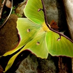 Giant Silk Moths in North America
