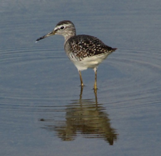 Wood Sandpiper by Nick Upton