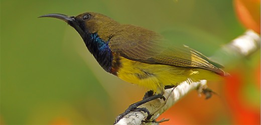Male Olive-backed Sunbird by Alex Vargas