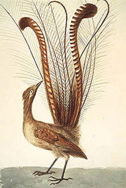 Lyrebird from Life of Birds