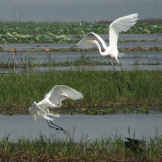 Great Egrets by Nick Upton