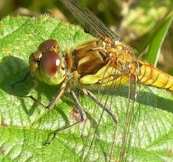 Dragonfly and Damselfly Photos
