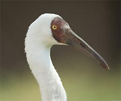 Siberian Crane Poster on Amazon.com