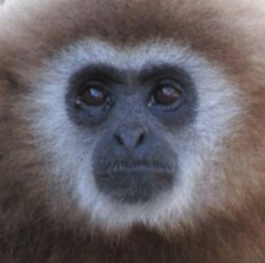 Rescued Gibbon