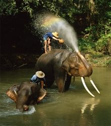 Elephants Being Washed in the river near Chiang Mai, Northern Thailand - Buy at Allposters.com