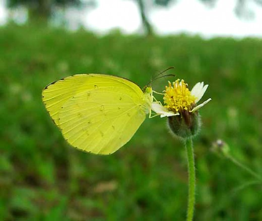 Unidentified Yellow Butterfly