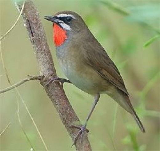 Siberian Rubythroat by Alex Vargas