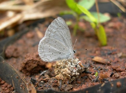 White-banded Hedge Blue