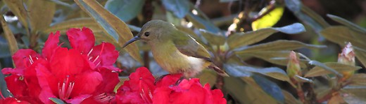 Female Green-tailed Sunbird on the summit of Doi Inthanon by Nick Upton