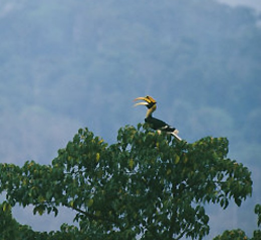 Great Hornbill calling on top of a tree on Amazon.com