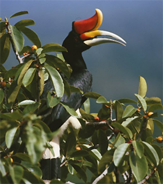 Rhinoceros Hornbill on Amazon.com