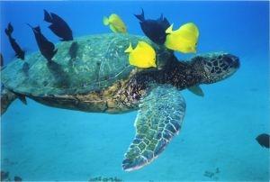 Hawaian green sea turtle
