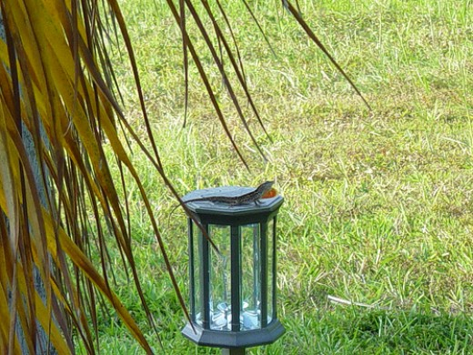 Gecko sunning itself on a solar light, copyright Rhea C