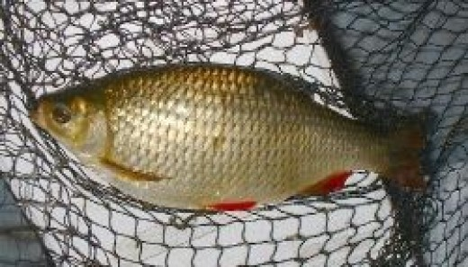 British Coarse Fishing - Rudd