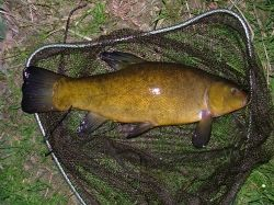 British Coarse Fishing - Tench