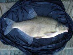 British Coarse Fishing - Bream