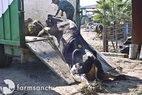 Downed cow being dragged to slaughter