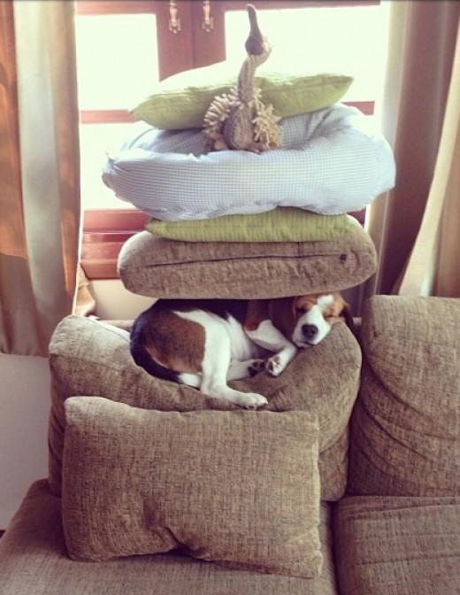 Zen Beagle