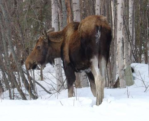 A Moose in the Woods.