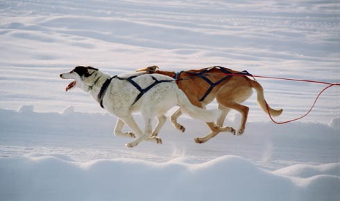 Santa's Emergency Sled Dogs