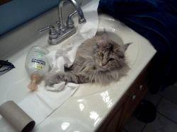 Tazendra in the Bathroom Sink