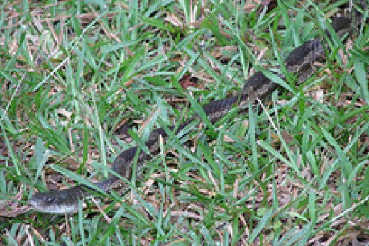 Texas rat snake showing its kinked defense position.