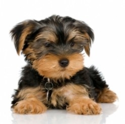Yorkie Potty Training - Step By Step