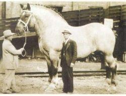 Samson the Shire Horse
