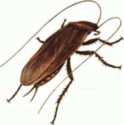 Understanding and Getting Rid of Cockroaches