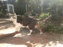 Tigey, Miacle Cat