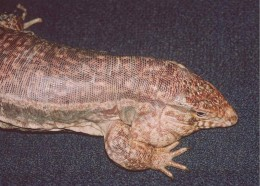 Adult male red tegu. Photo by Dr. Robert Sprackland.