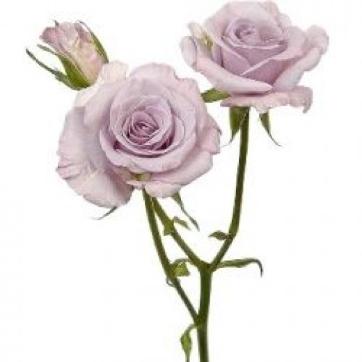 Lavdender Spray Rose