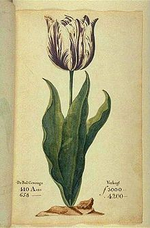 Viceroy Tulip.In 1637 one bulb of this tulip cost ten times as much as a skilled craftsman could earn in a year.