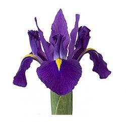 Purple Iris from Whole Blossoms, flower wholesaler