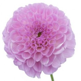 Pom pom dahlias make wonderful fillers in arrangements, table centers and of course, wedding bouquets.