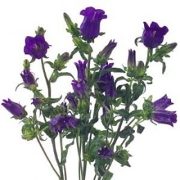 Campanula are delightful bells shaped flowers. Ideal for bouquets seeking a 'just picked' look, or for rustic, country weddings.