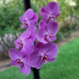 Purple orchids, expensive but very durable.