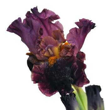 The spectacular bearded iris, deep purple splashed with gold.