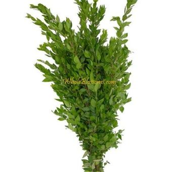Myrtle - a traditional inclusion in all weddings bouquets. This is an ancient association. Myrtle was sacred to Aphrodite, and hence a symbol of love. Queen Victoria carried myrtle in her bouquet, after the wedding it was planted and grew well. Since