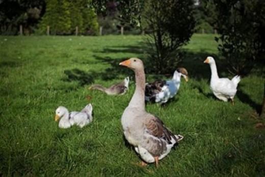 keeping geese
