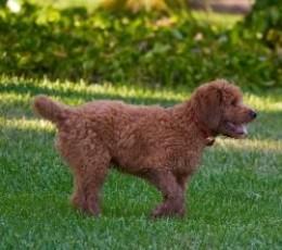 type=golden_retreiver_puppy