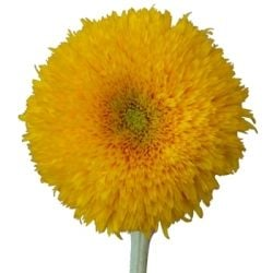 Teddy Bear Sunflowers - available from Fifty Flowers, an online floral wholesaler