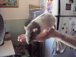 This is my rat Blue, she passed away last year.