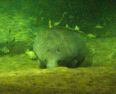 manatee at the Columbus Zoo Wildlights Show